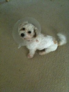 Wearing his neutering cone of shame